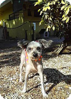 Schnauzer (Miniature)/Yorkie, Yorkshire Terrier Mix Dog for adoption in Boca Raton, Florida - Libby