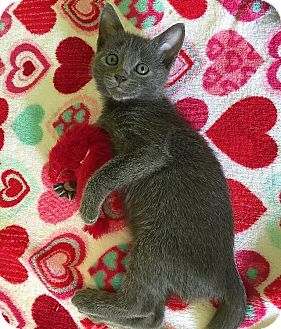 Russian Blue Kitten for adoption in Tampa, Florida - London