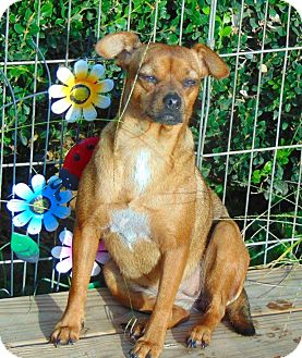 Pug Mix Puppy for adoption in Olympia, Washington - Pearl