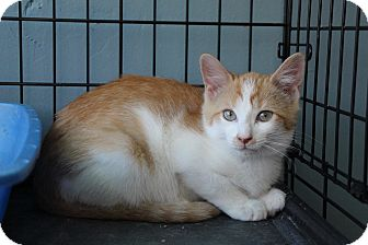 Domestic Shorthair Kitten for adoption in Avon, New York - Bubba
