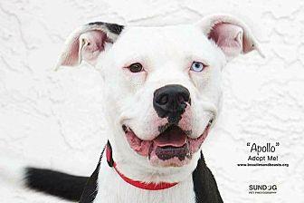 Boxer Mix Dog for adoption in Wichita, Kansas - Apollo