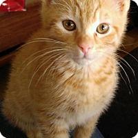 Adopt A Pet :: Comet - Manchester, CT