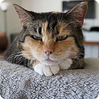 Calico Cat for adoption in Concord, North Carolina - Mini Mix