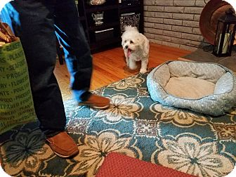 Bichon Frise/Poodle (Miniature) Mix Dog for adoption in Warren, Michigan - Hope