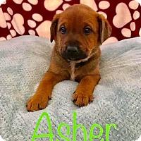 Adopt A Pet :: PP - Asher - Tucson, AZ