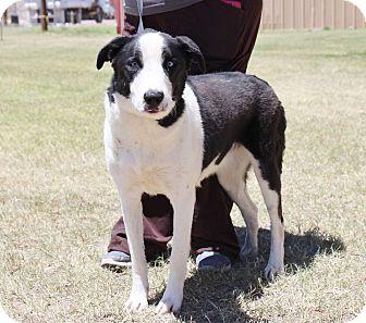 Collie/Labrador Retriever Mix Dog for adoption in Winsted, Connecticut - Nina
