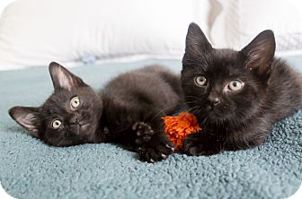 Domestic Shorthair Kitten for adoption in Chicago, Illinois - Fresca and Squirt