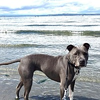 Adopt A Pet :: Olive-Active & Playful Girl! - Kirkland, WA