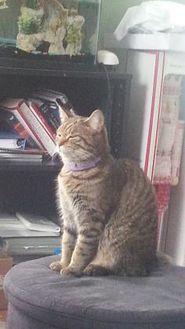 Domestic Shorthair/Domestic Shorthair Mix Cat for adoption in Warren, Michigan - Scotland