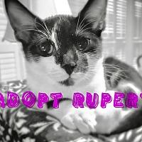 Adopt A Pet :: Rupert - Huntsville, AL