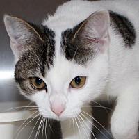 Adopt A Pet :: 2551 - Sabene - Ellicott City, MD