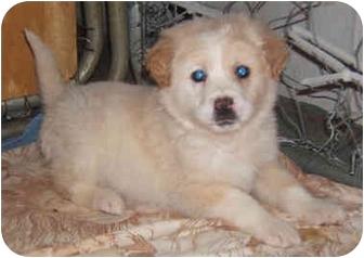 Golden Retriever/Collie Mix Puppy for adoption in Cincinnati, Ohio - Tatum