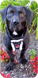 Labrador Retriever/Basset Hound Mix Dog for adoption in Portland, Oregon - Low Ridin' Ramone