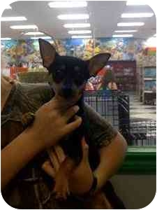 Chihuahua Mix Dog for adoption in Crosby, Texas - Killer