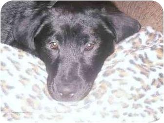 Labrador Retriever/Border Collie Mix Puppy for adoption in Naperville, Illinois - Kodak