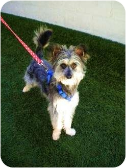 Schnauzer (Miniature)/Silky Terrier Mix Puppy for adoption in Mission Viejo, California - Berkeley