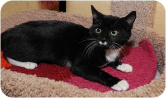 Domestic Shorthair Kitten for adoption in Farmingdale, New York - Mamie