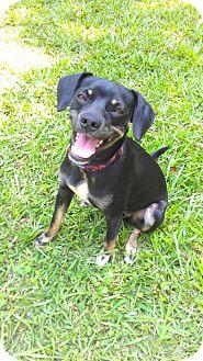 Pug/Beagle Mix Dog for adoption in Hammond, Louisiana - Jill