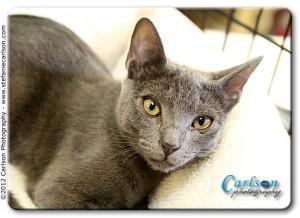 Siamese Cat for adoption in Yorba Linda, California - Princess Bella