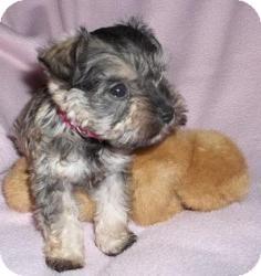 Schnauzer (Miniature) Mix Puppy for adoption in North Benton, Ohio - Dixie