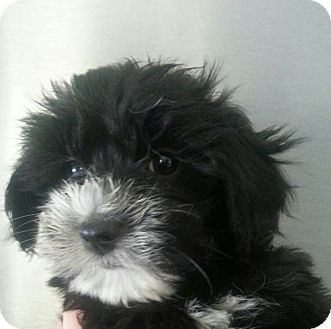 Maltese/Yorkie, Yorkshire Terrier Mix Puppy for adoption in Silver Lake, Wisconsin - CHLOE