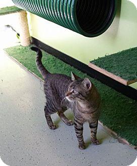 Domestic Shorthair Cat for adoption in Hibbing, Minnesota - Hobo