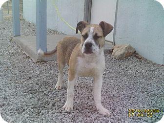 Boxer/American Bulldog Mix Puppy for adoption in El Dorado Springs, Missouri - Baxter