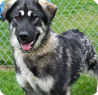 Shepherd (Unknown Type) Mix Dog for adoption in Fruit Heights, Utah - Valentine