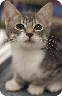 Domestic Shorthair Kitten for adoption in Sacramento, California - Jan