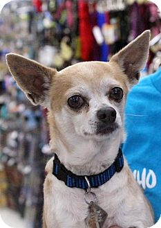Chihuahua Dog for adoption in El Cajon, California - Spike-Adoption Pending