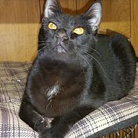 Domestic Shorthair Cat for adoption in Morganton, North Carolina - Samantha