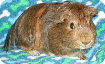Guinea Pig for adoption in Highland, Indiana - Badger