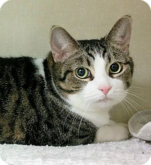 Domestic Shorthair Cat for adoption in Saanichton, British Columbia - Siri