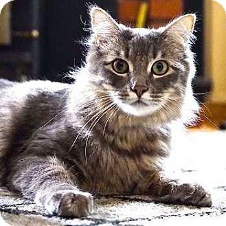 Maine Coon Cat for adoption in Davis, California - Gulliver