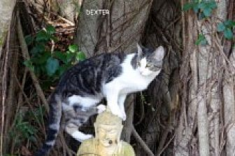 Domestic Shorthair Cat for adoption in Naples, Florida - Dexter