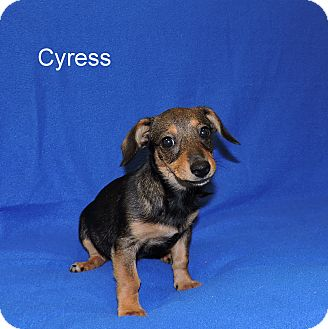 Chihuahua/Dachshund Mix Puppy for adoption in Slidell, Louisiana - Cyress
