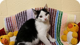 Domestic Shorthair Kitten for adoption in Berlin, Connecticut - Tigger