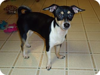 Chihuahua Mix Puppy for adoption in Toledo, Ohio - Minnie
