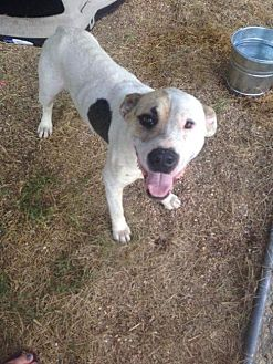 American Bulldog/American Pit Bull Terrier Mix Dog for adoption in Redfield, Arkansas - Chance