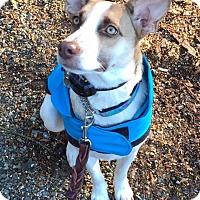 Shepherd (Unknown Type)/Hound (Unknown Type) Mix Dog for adoption in North Bend, Washington - Zulee