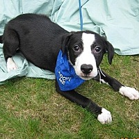 Adopt A Pet :: Shilo - Glastonbury, CT