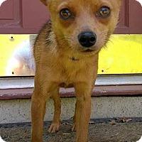 Adopt A Pet :: Foxy - Lawrenceville, GA