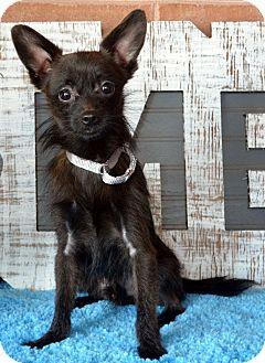 Yorkie, Yorkshire Terrier/Chihuahua Mix Dog for adoption in Bridgeton, Missouri - Hawk