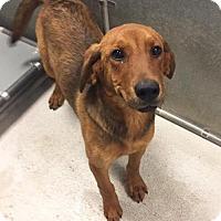 Adopt A Pet :: Shyla - Potomac, MD