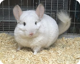 Chinchilla for adoption in Hammond, Indiana - Euphy