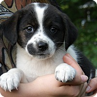 Rat Terrier/Beagle Mix Puppy for adoption in Burlington, Vermont - Flicka (5 lb) Video