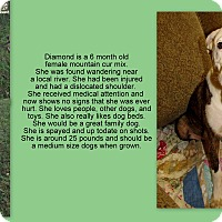Adopt A Pet :: Diamond meet me 9/22 - East Hartford, CT