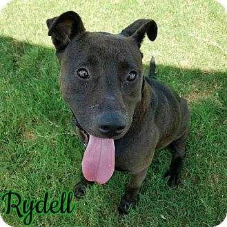 American Staffordshire Terrier Dog for adoption in Garber, Oklahoma - Rydell