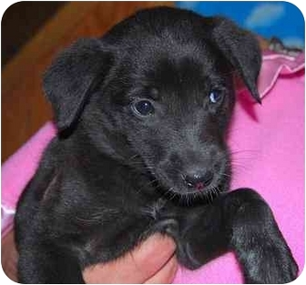 Shepherd (Unknown Type)/Shepherd (Unknown Type) Mix Puppy for adoption in Broomfield, Colorado - Muppy