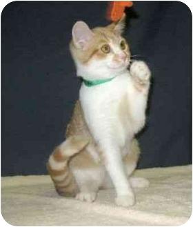 Domestic Shorthair Kitten for adoption in Powell, Ohio - Shaniah